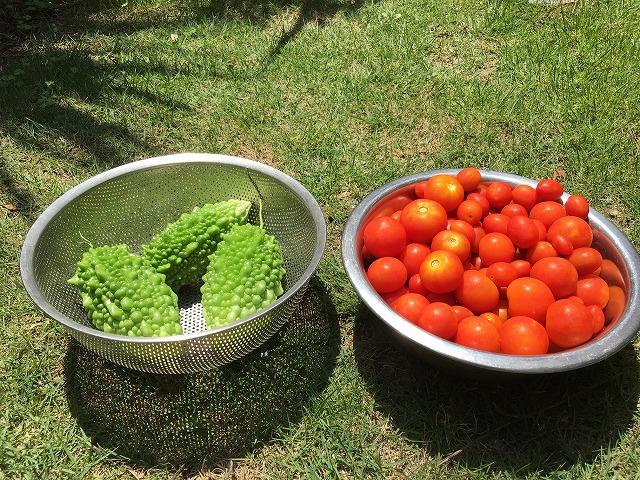 ほったらかし 家庭菜園 ミニトマト ゴーヤ