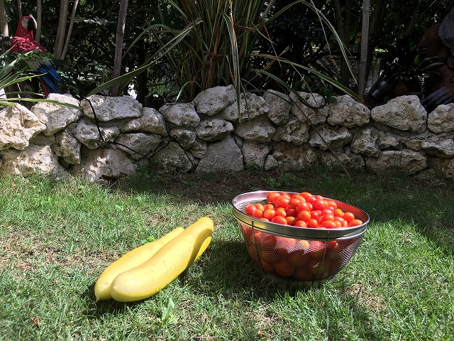 ほったらかし 家庭菜園 キュウリ ミニトマト