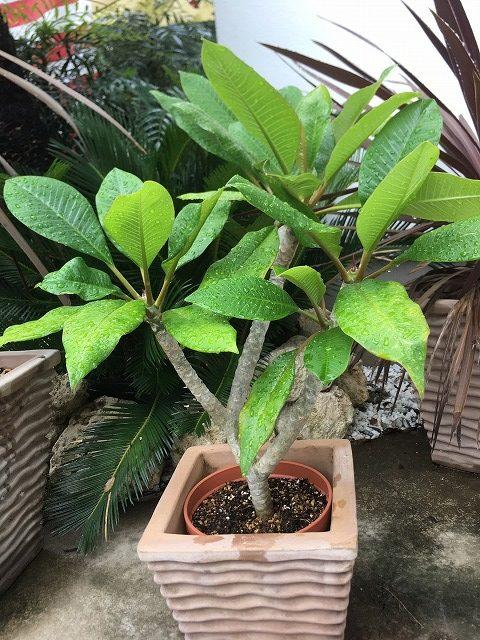プルメリア 鉢植え
