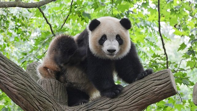 パンダの着ぐるみ